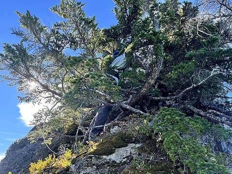 PeeWee scrambling along the schwacky ridge