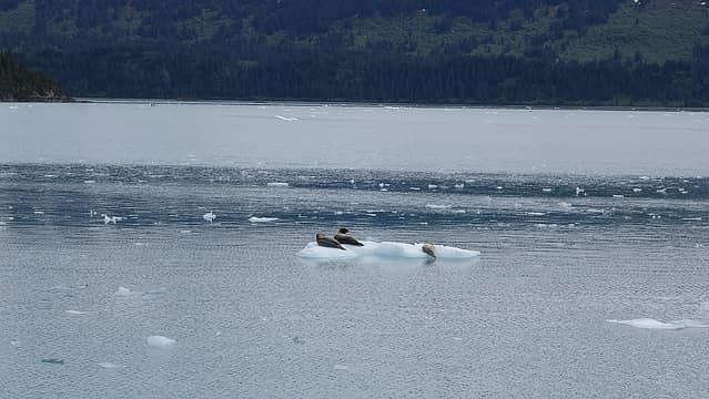 Sea lions on the iceberg